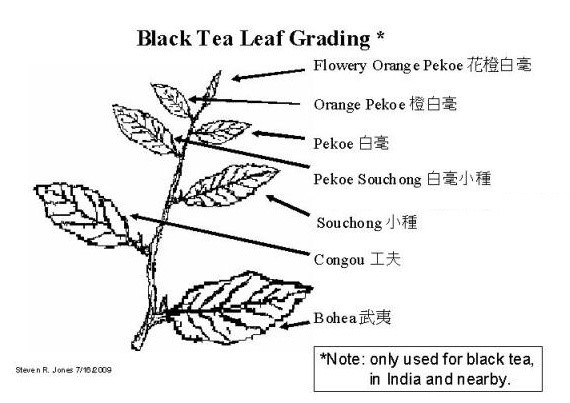 Diagram of tea branch explaining black tea grades used in India and surrounding areas