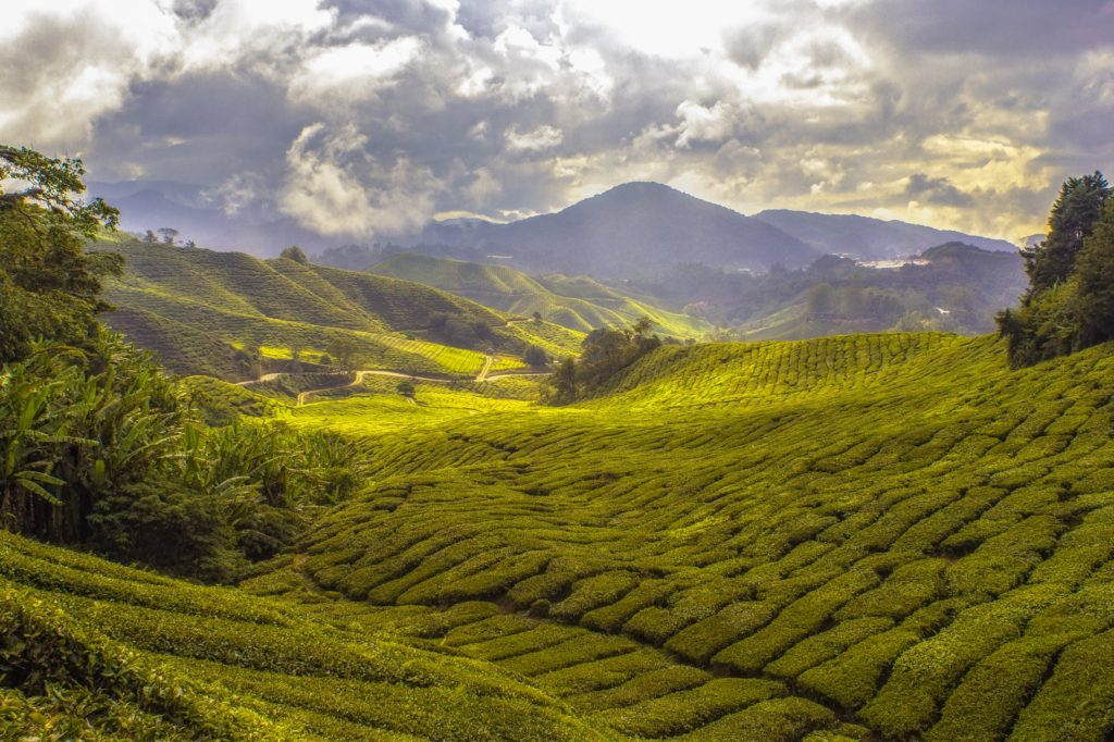 Looking towards the mountains across rolling valleys of tea bushes.  Photo by Paul Vincent.